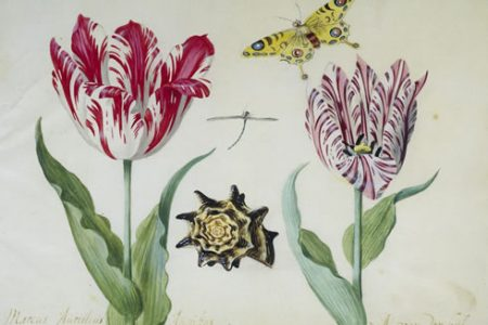 Tulip Prints and Drawings at The Rijksmuseum