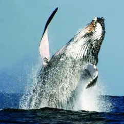The Field Museum Announces Whales: Giants of the Deep