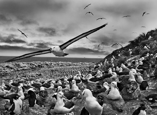 Sebastiao Salgado Steeple Jason Island is home to more than 500,000 couples of black-browed albatrosses (Thalassarche melanophris), the largest colony of albatrosses in the world. Falkland Islands, 2009.© Sebastião Salgado / Amazonas Images /nbpictures.