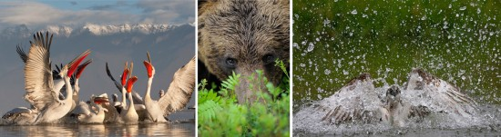 """Photographs of pelicans by Jari Peltomaki, a bear by Staffan Widstrand, and osprey by Peter Cairns are featured in """"Wild Wonders of Europe,"""" opening at the National Museum of Wildlife Art (photos: www.wild-wonders.com)"""
