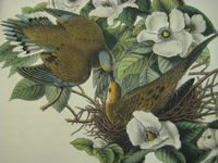 """Caption: (Detail) Plate no. 286, """"The Carolina Turtle-Dove"""" from The Birds of America, from Drawings Made in the United States and Their Territories, Vol. V, by John James Audubon, Philadelphia: J. J. Audubon,"""