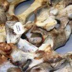 University of Alaska Museum Pacific walrus population study
