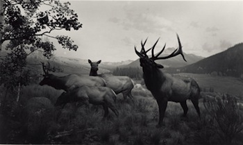 Wapiti, 1980. Hiroshi Sugimoto (Japanese, born 1948). Gelatin silver print. The J. Paul Getty Museum, Los Angeles, Purchased with funds provided by the Photographs Council. © Hiroshi Sugimoto