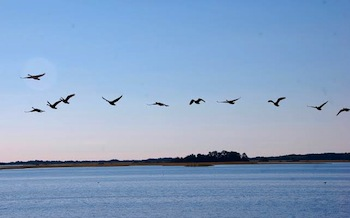 Flocks of ducks, geese and swans returning to the Chesapeake Bay region on their annual fall migration
