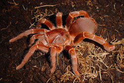 Crawshayi tarantula in Tarantulas: Alive and Up Close