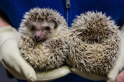 Adorable hedgehogs enliven a visit to the Academy of Natural Sciences of Drexel University